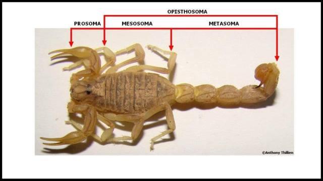 anatomie_scorpion1