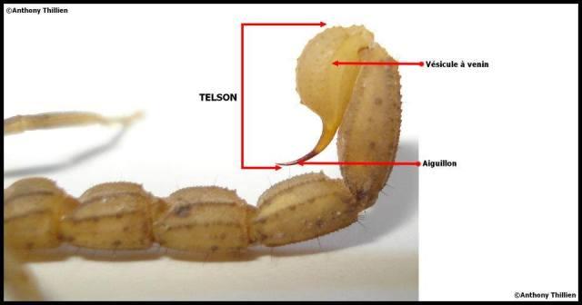 anatomie_scorpion11