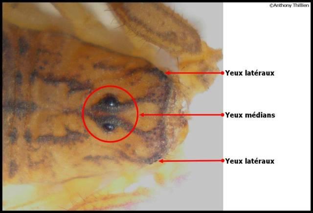anatomie_scorpion2