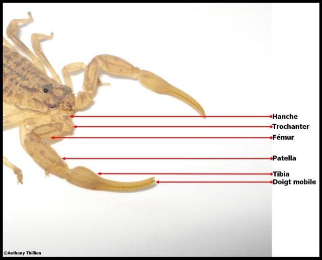 anatomie_scorpion4