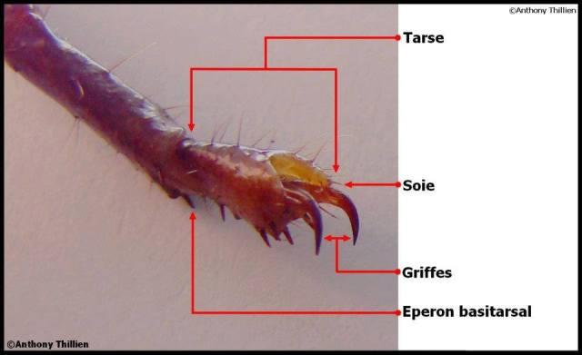 anatomie_scorpion7