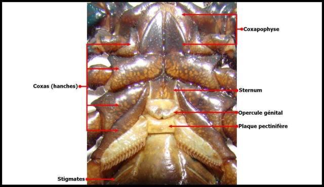 anatomie_scorpion8