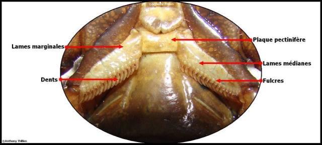 anatomie_scorpion9