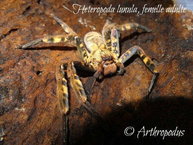Heteropoda lunula femelle