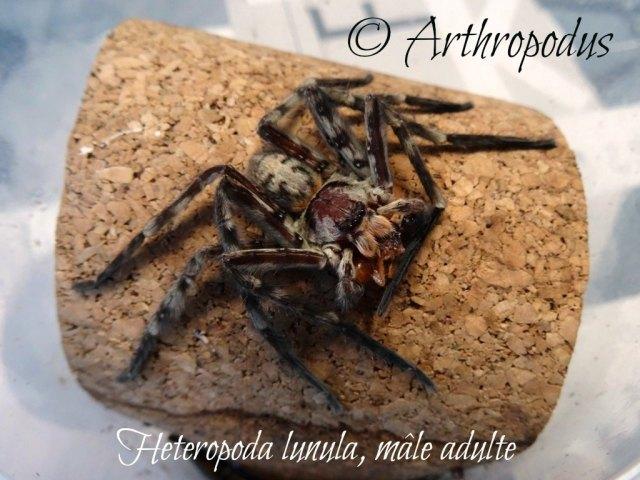 Heteropoda_lunula_male_adulte_arthropodus