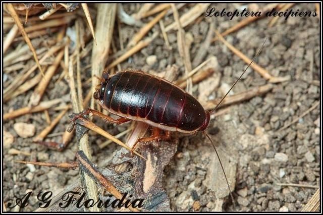 loboptera_decipiens_blog_arthropodus_albert_gatt_florida