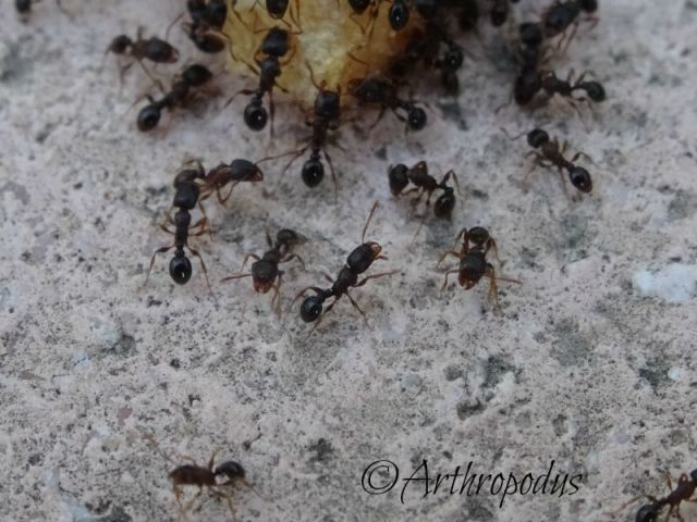 fourmis_1_tetramorium_blog_arthropodus