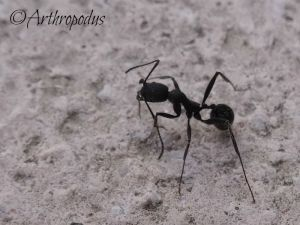 fourmis_3_aphaenogaster_senilis_blog_arthropodus
