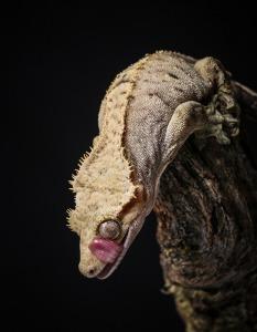 [Fiche] Correlophus ciliatus Gecko_a_crete_correlophus_rhacodactylus_ciliatus_blog_arthropodus_1