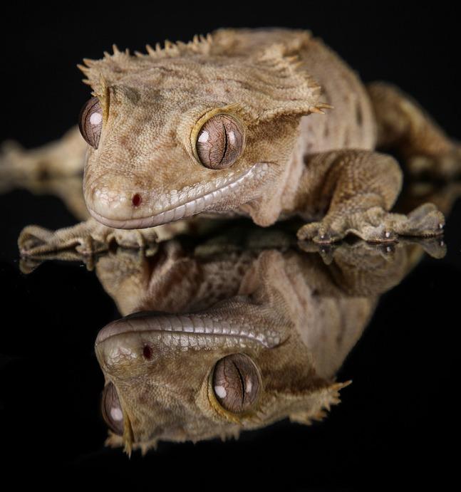 gecko_a_crete_correlophus_rhacodactylus_ciliatus_blog_arthropodus_2