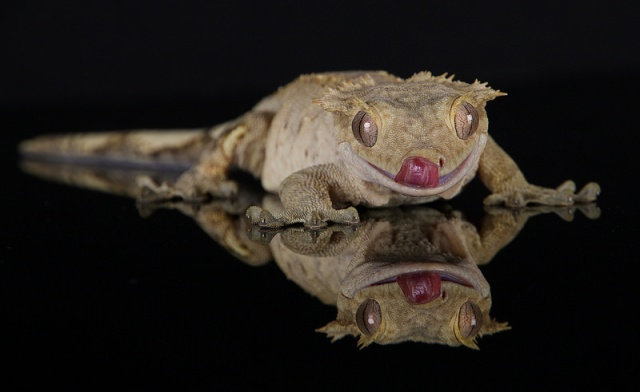 gecko_a_crete_correlophus_rhacodactylus_ciliatus_blog_arthropodus_3