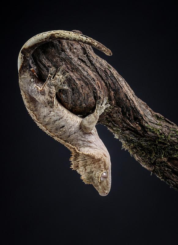 gecko_a_crete_correlophus_rhacodactylus_ciliatus_blog_arthropodus_5
