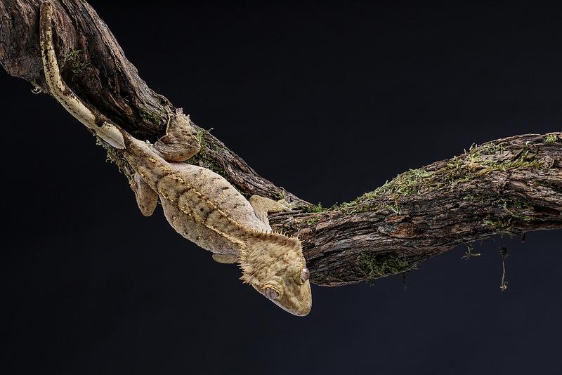 [Fiche] Correlophus ciliatus Gecko_a_crete_correlophus_rhacodactylus_ciliatus_blog_arthropodus_6