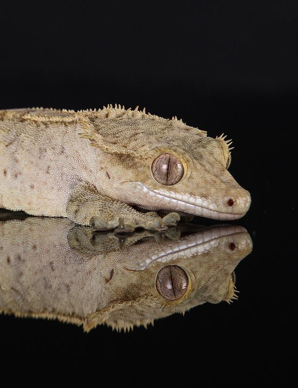 gecko_a_crete_correlophus_rhacodactylus_ciliatus_blog_arthropodus_7
