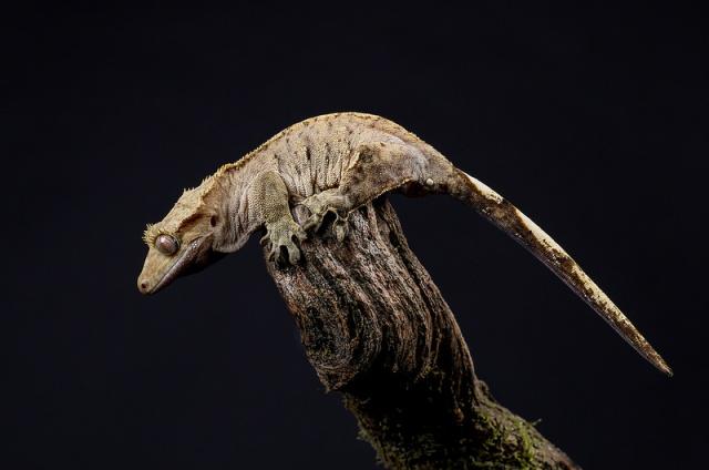gecko_a_crete_correlophus_rhacodactylus_ciliatus_blog_arthropodus_8
