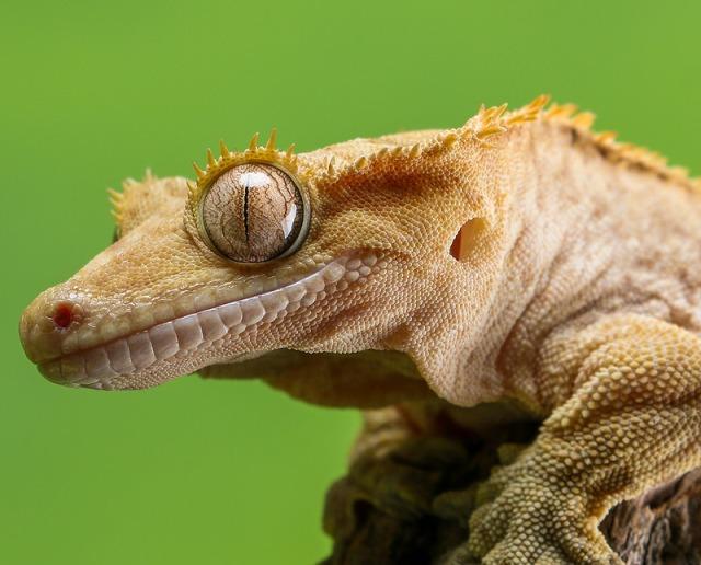 gecko_a_crete_correlophus_rhacodactylus_ciliatus_blog_arthropodus_9