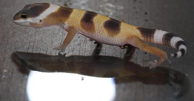 gecko_leopard_eublepharis_macularius_blog_arthropodus1