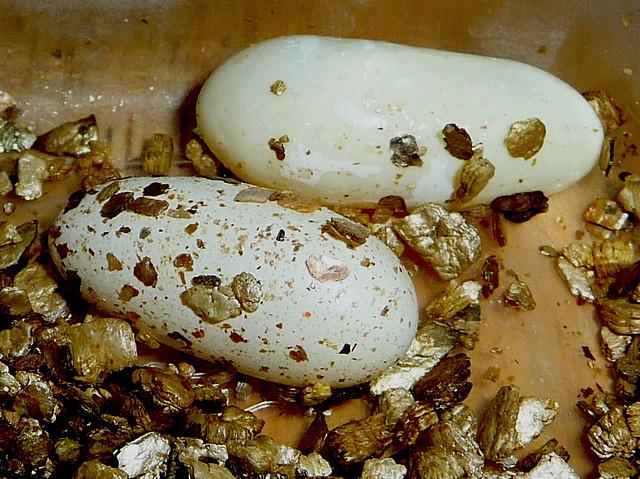 gecko_leopard_eublepharis_macularius_blog_arthropodus2