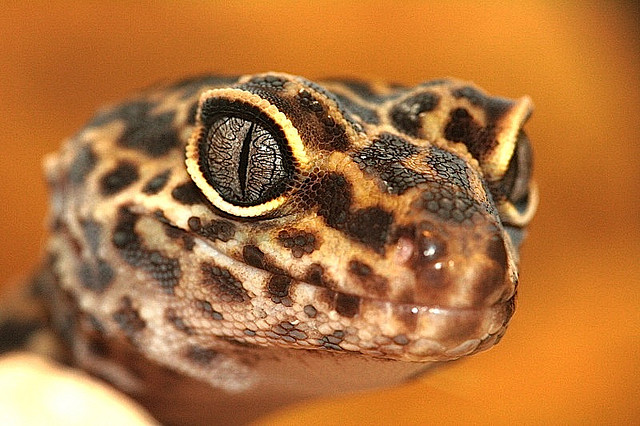 gecko_leopard_eublepharis_macularius_blog_arthropodus5