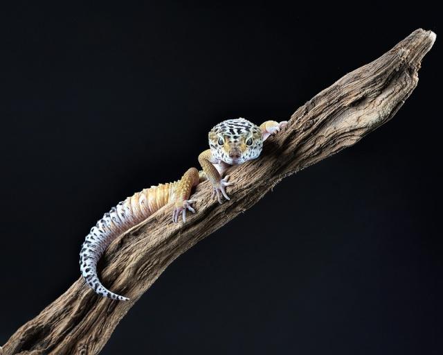 gecko_leopard_eublepharis_macularius_blog_arthropodus6