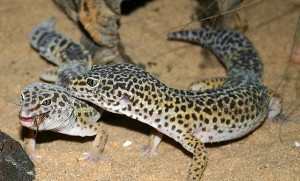 gecko_leopard_eublepharis_macularius_blog_arthropodus7