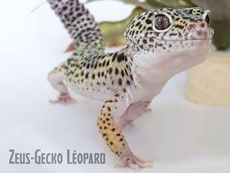 gecko_leopard_eublepharis_macularius_blog_arthropodus8