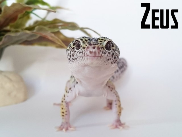 gecko_leopard_eublepharis_macularius_blog_arthropodus9