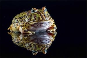 grenouille_pacman_ceratophrys_blog_arthropodus_3_