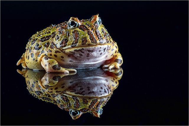 grenouille_pacman_ceratophrys_blog_arthropodus_3_
