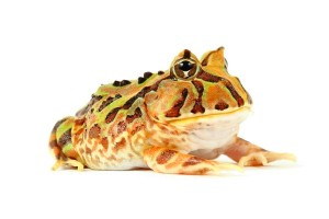 grenouille_pacman_ceratophrys_blog_arthropodus_5_