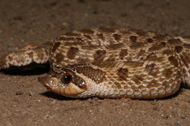 heterodon_nasicus_serpent_a_groin_hognose_blog_arthropodus_1