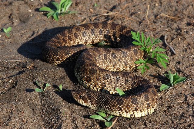 heterodon_nasicus_serpent_a_groin_hognose_blog_arthropodus_2