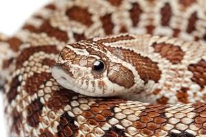 heterodon_nasicus_serpent_a_groin_hognose_blog_arthropodus_3