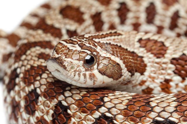 heterodon_nasicus_serpent_a_groin_hognose_blog_arthropodus_3