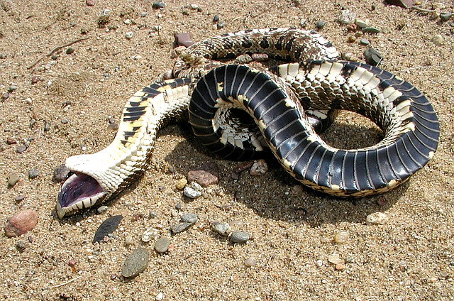 heterodon_nasicus_serpent_a_groin_hognose_blog_arthropodus_4