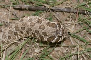 heterodon_nasicus_serpent_a_groin_hognose_blog_arthropodus_6