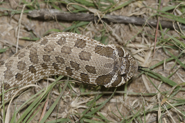 heterodon_nasicus_serpent_a_groin_hognose_blog_arthropodus_6
