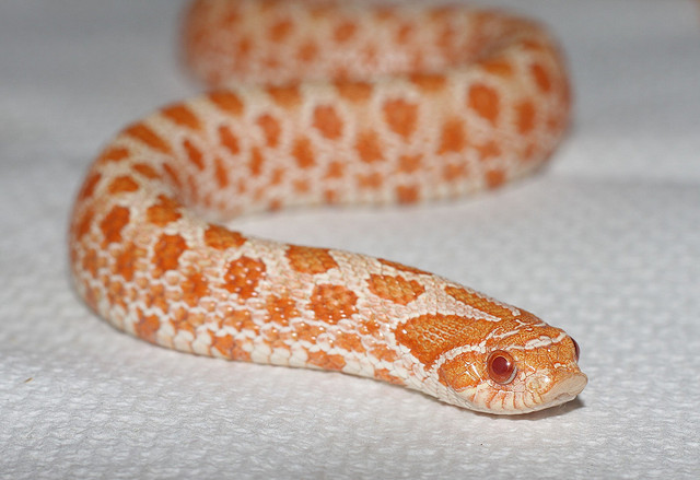 heterodon_nasicus_serpent_a_groin_hognose_blog_arthropodus_7