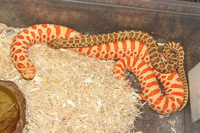 heterodon_nasicus_serpent_a_groin_hognose_blog_arthropodus_9