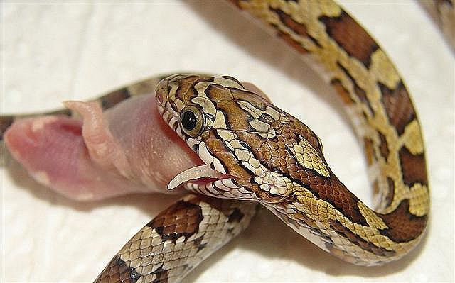 serpent_des_bles_panterophis_guttatus_elaphe_guttata_blog_arthropodus_1