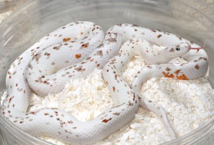serpent_des_bles_panterophis_guttatus_elaphe_guttata_blog_arthropodus_11