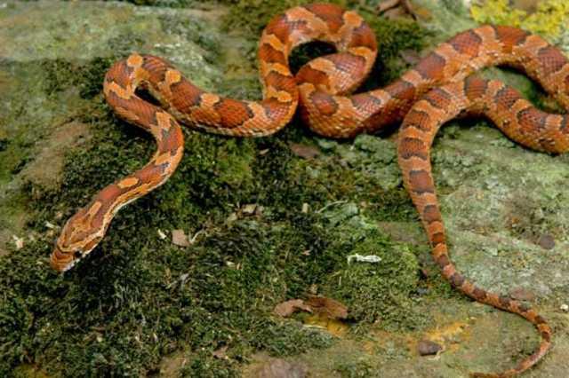 serpent_des_bles_panterophis_guttatus_elaphe_guttata_blog_arthropodus_12