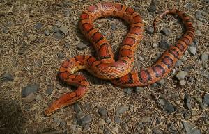 serpent_des_bles_panterophis_guttatus_elaphe_guttata_blog_arthropodus_2