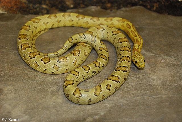 serpent_des_bles_panterophis_guttatus_elaphe_guttata_blog_arthropodus_3