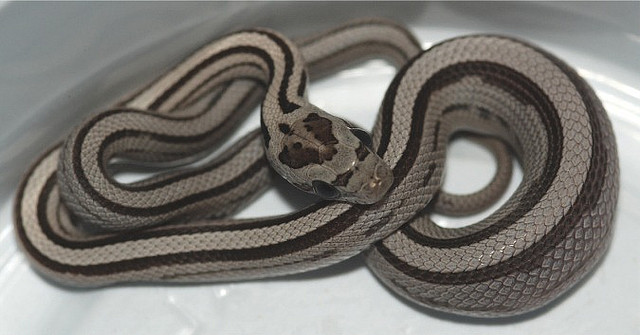 serpent_des_bles_panterophis_guttatus_elaphe_guttata_blog_arthropodus_7
