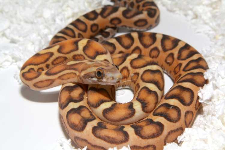 Fiche d'élevage du serpent des blés Pantherophis guttatus