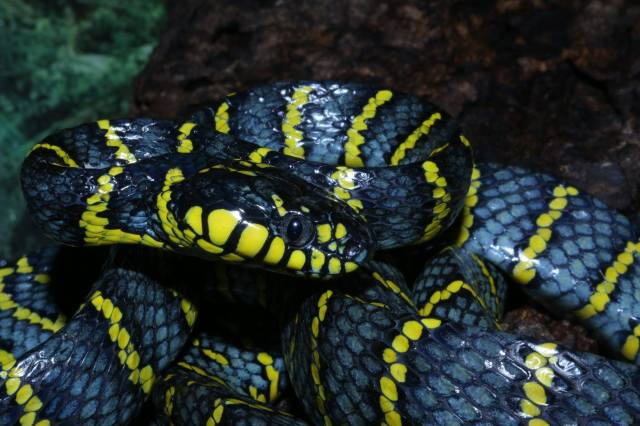serpent_des_mangroves_boiga_dendrophila_divergens_4