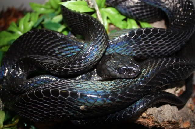 serpent_des_mangroves_boiga_dendrophila_gemmicincta_5_2