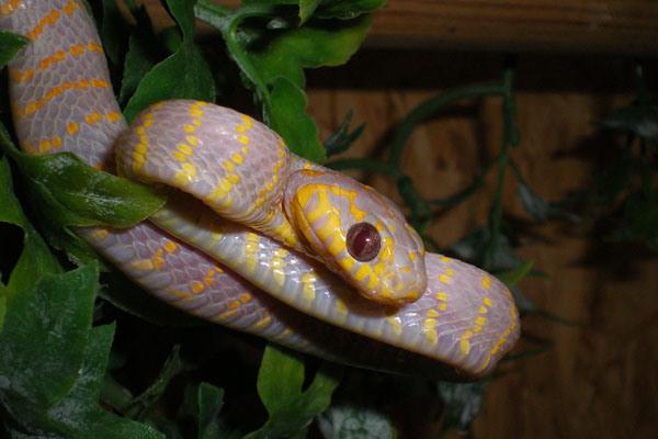 serpent_des_mangroves_boiga_dendrophila_gemmicincta_6