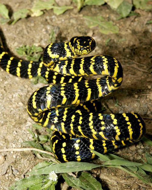 serpent_des_mangroves_boiga_dendrophila_gemmicincta_7